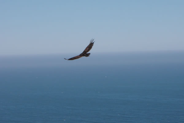 Hawk flying over the Pacific coast, Highway 1.