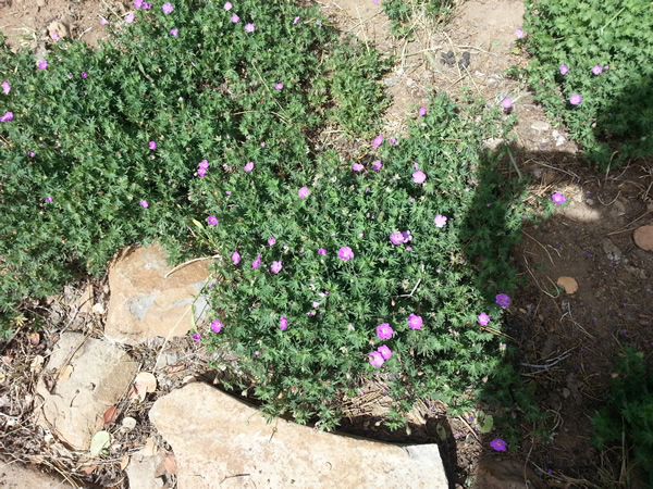 Small purple flowers on a green ground cover