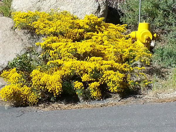 Yellow blooms and  low growing