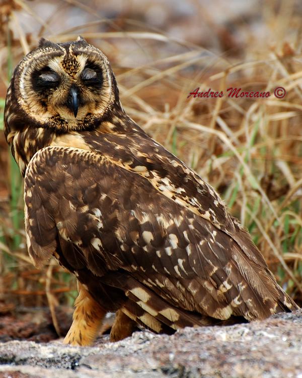 short eared owl 3_sm