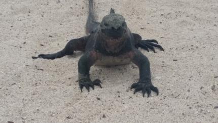 Marine iguana