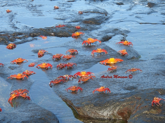 Sally lightfoot crabs