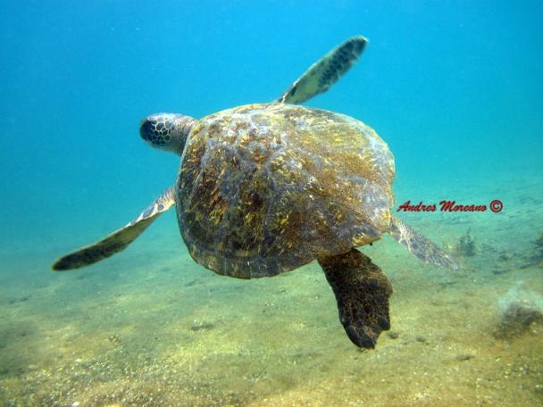 Sae Turtle