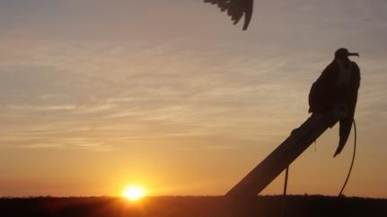 Frigate bird landed